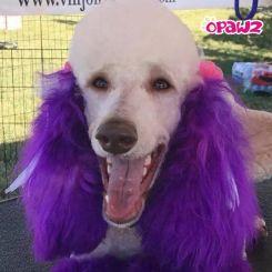 Краска для шерсти Opawz Dog Hair Dye Mystiс Purple 120 мл артикул OW01-DHD06 фото, цена gr_18348-02, фото 2
