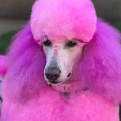 Краска для шерсти Opawz Dog Hair Dye Chram Pink 120 мл артикул OW01-DHD12 фото, цена gr_18354-02, фото 2